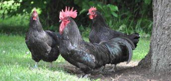 la poule noire du berry